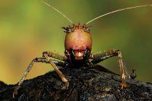 Drachenkopfschrecke